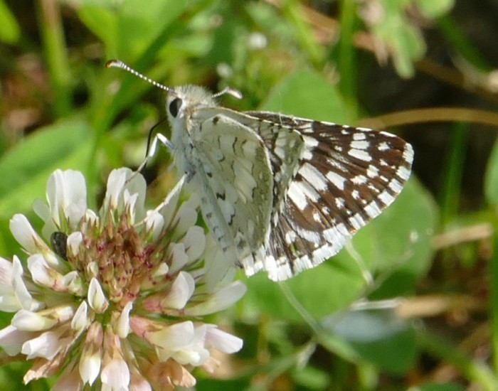 Common Checkered Skipper 6-10-16 1