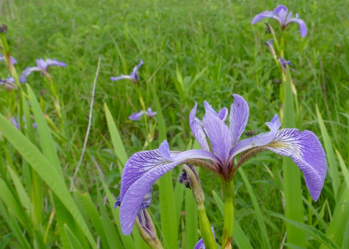 Iris - with fly