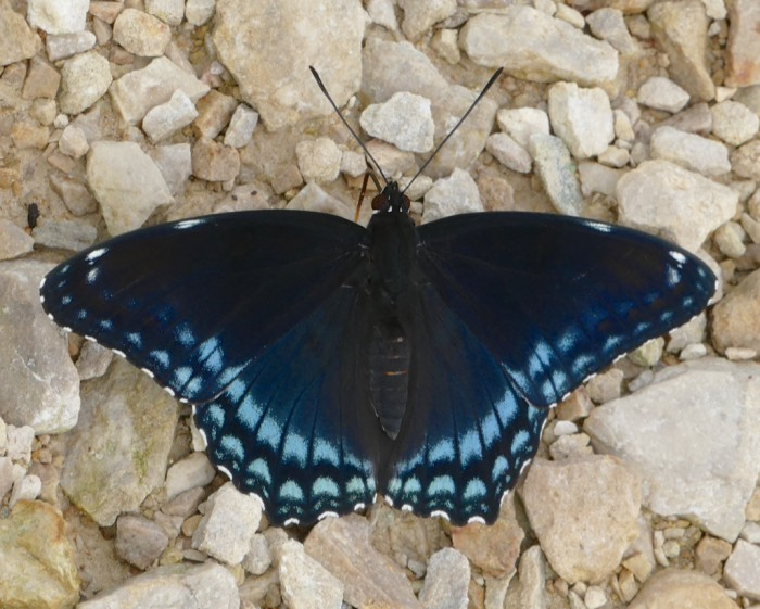 Red Spotted Purple 6-15-16 1