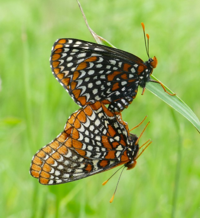 mated Baltimore Checkerspots 6-15-16 1