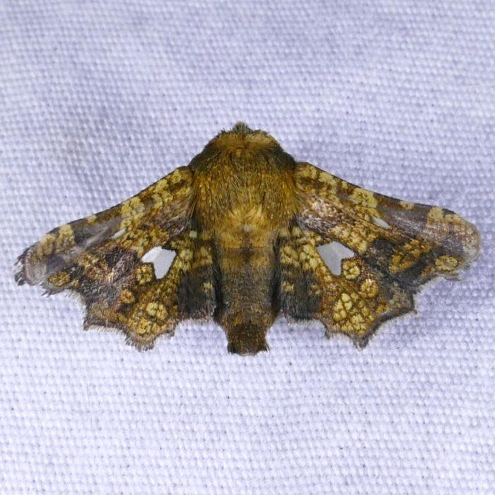 Dysodia oculatana