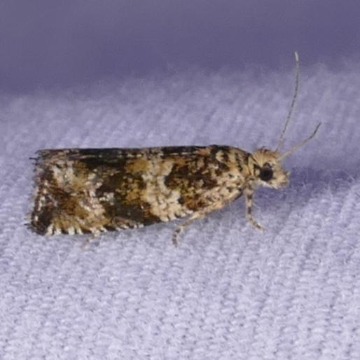 Olethreutes fasciatana 7-23-16 1