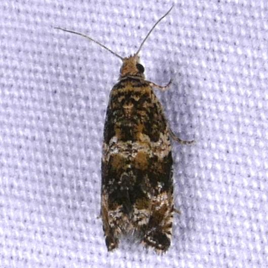 Olethreutes fasciatana 7-23-16 2