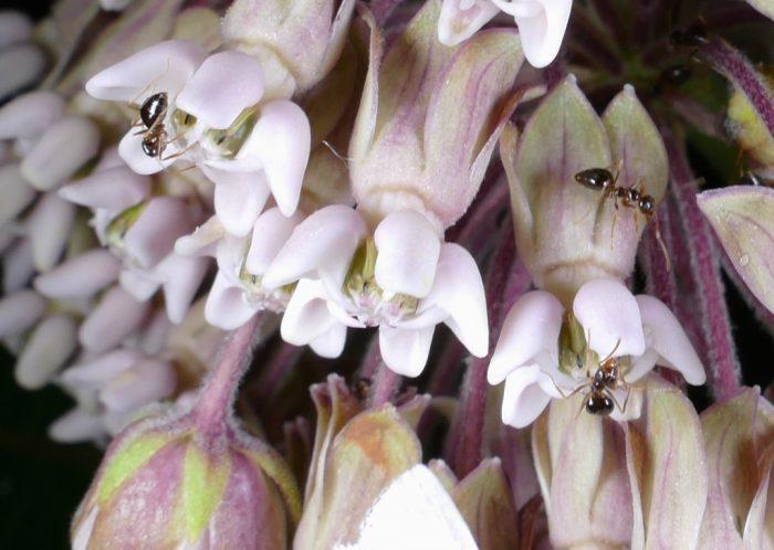 ants on milkweed 7-8-16 1