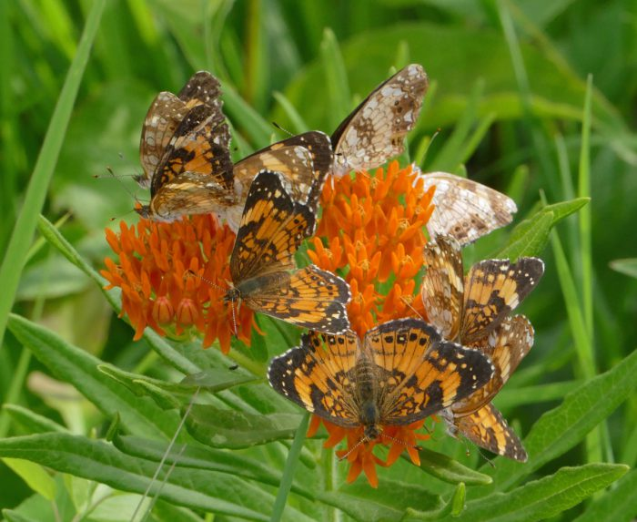 butterflies on Butterfly Milkweed