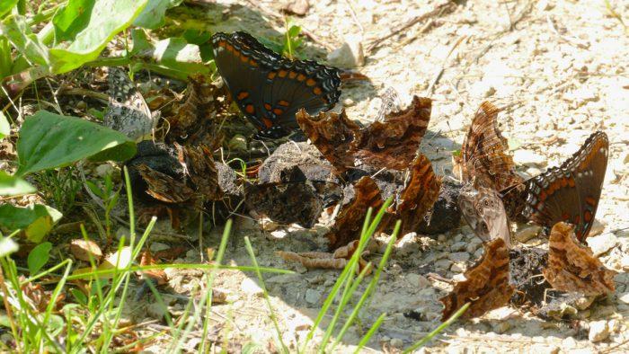 butterflies on scat