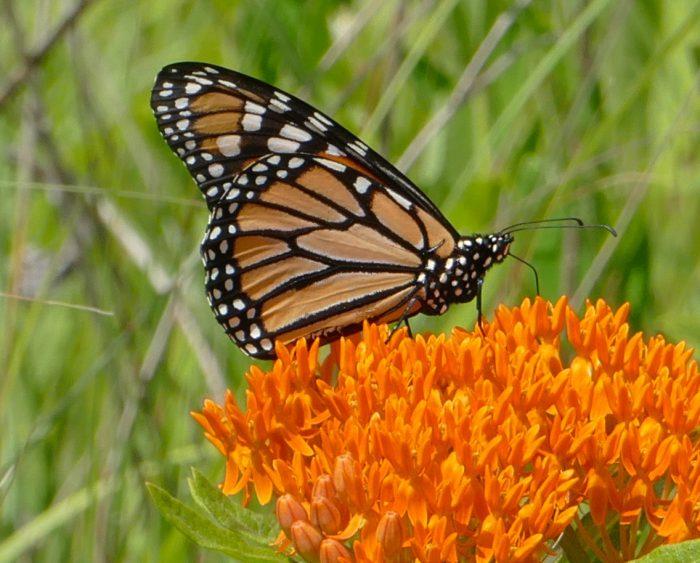monarch 6-29-16 1