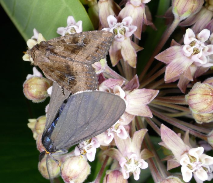 moths on milkweed 6-27-16 1