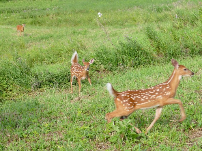 two fawns playing 2