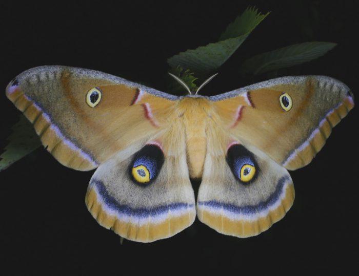 Antheraea polyphemus 7-30-16 1