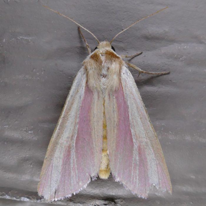 Dargida rubripennis 8-13-16 1