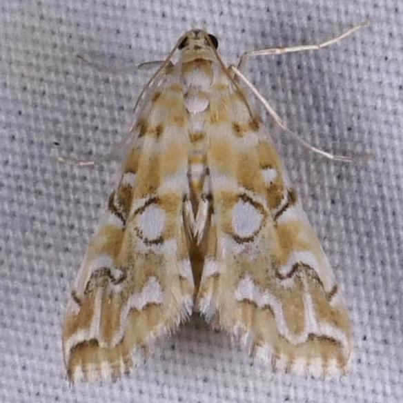 Elophila icciusalis 7-30-16 1