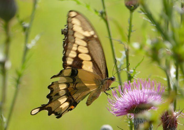 Giant Swallowtail 8-19-16 1