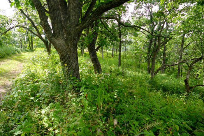 Indian Grass Savanna