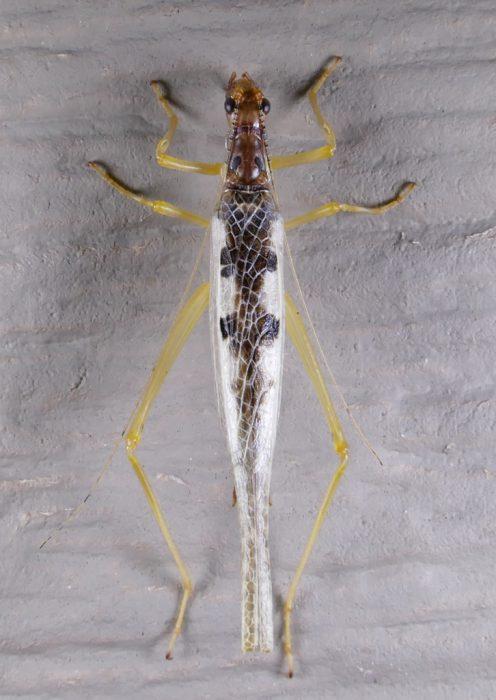 Neoxabea bipunctata 8-9-16 1