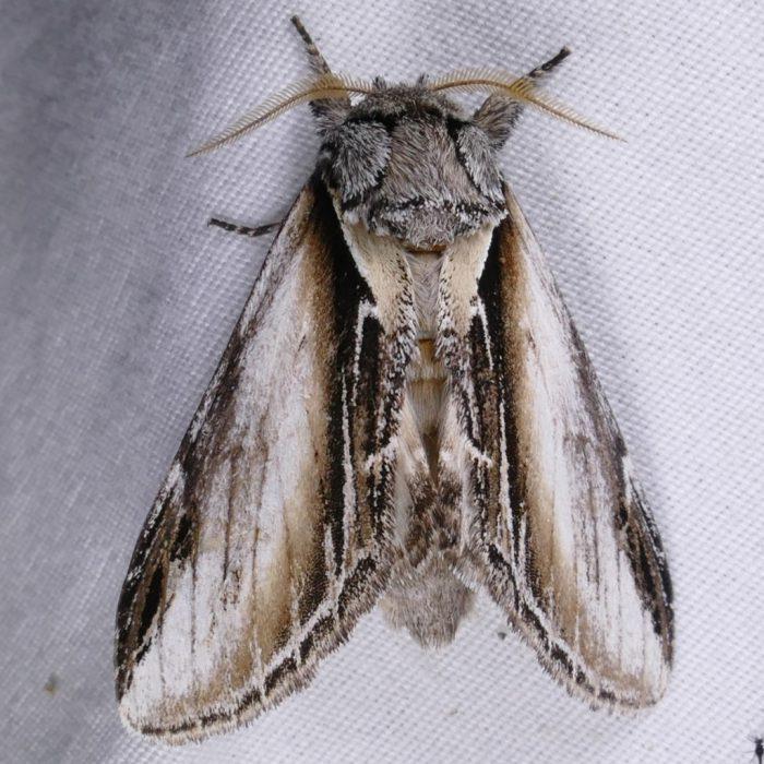 Pheosia rimosa 8-14-16 1