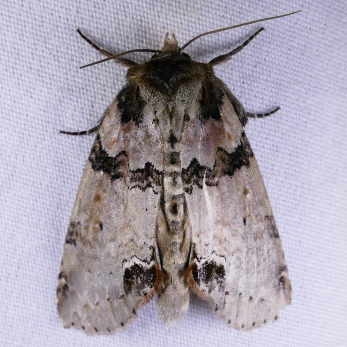 Pseudothyatira cymatophoroides 7-30-16 1
