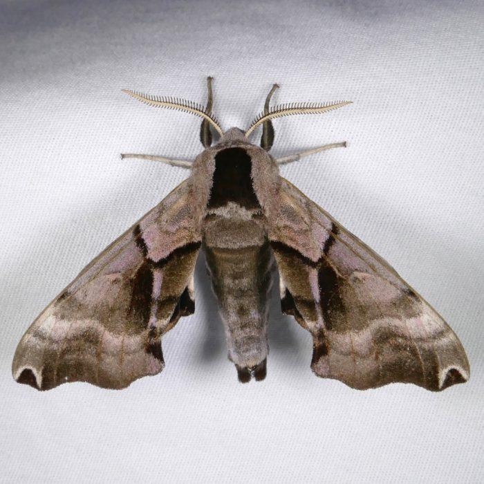 Smerinthus jamaicensis 8-14-16 1