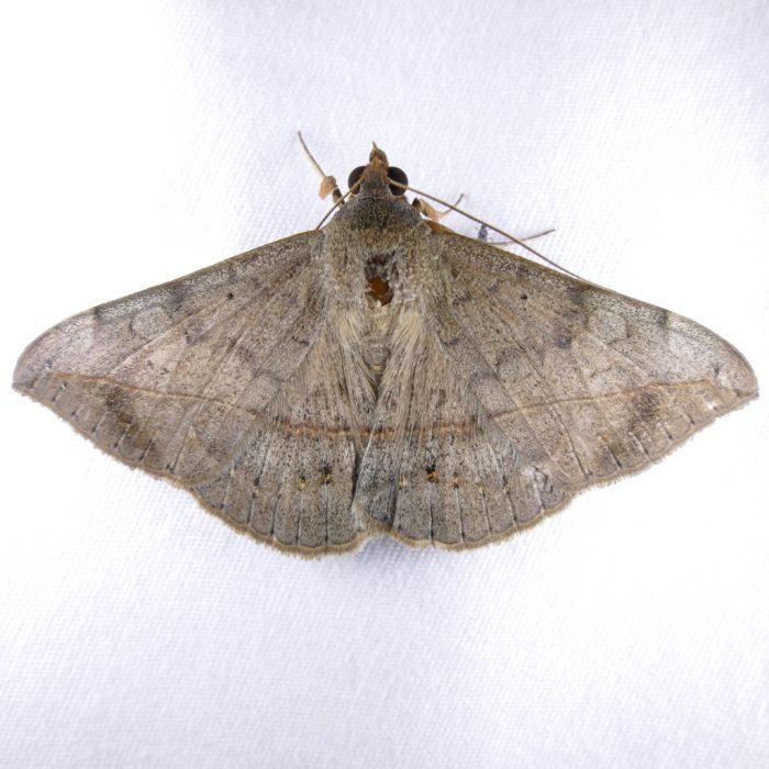 Anticarsia gemmatalis
