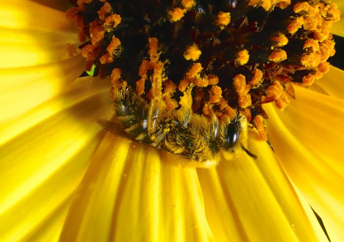 Bee sleeping in sunflower 8-27-16 1