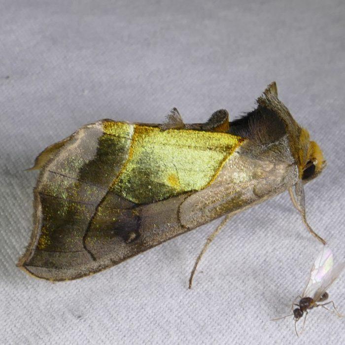 Diachrysia balluca 8-28-16 1