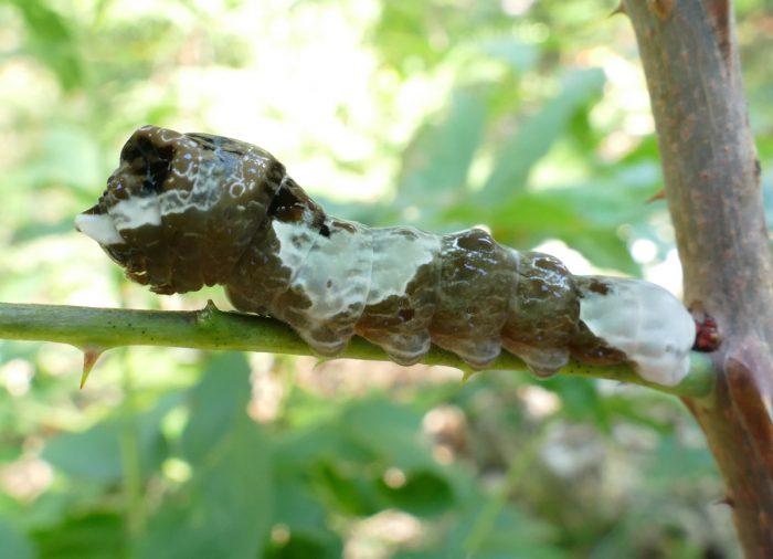 Giant Swallowtail larva 8-22-16 1