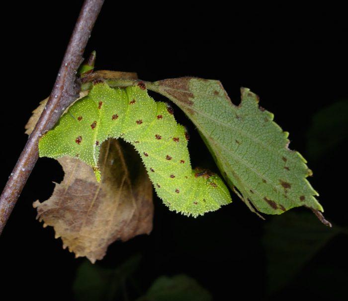 Paonias excaecatus 8-26-16 1