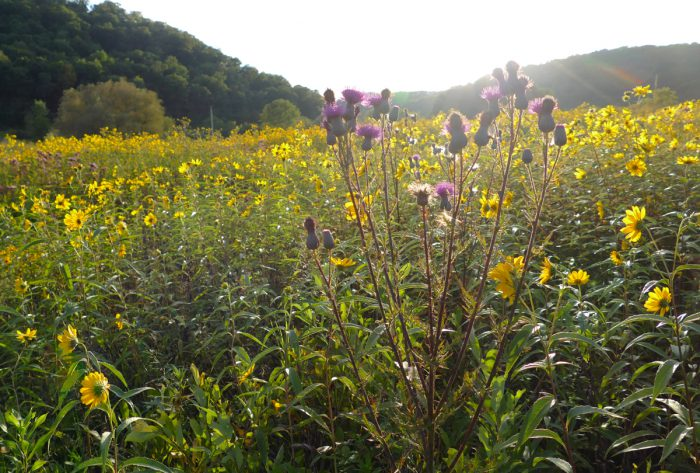 wetland with sunflowers