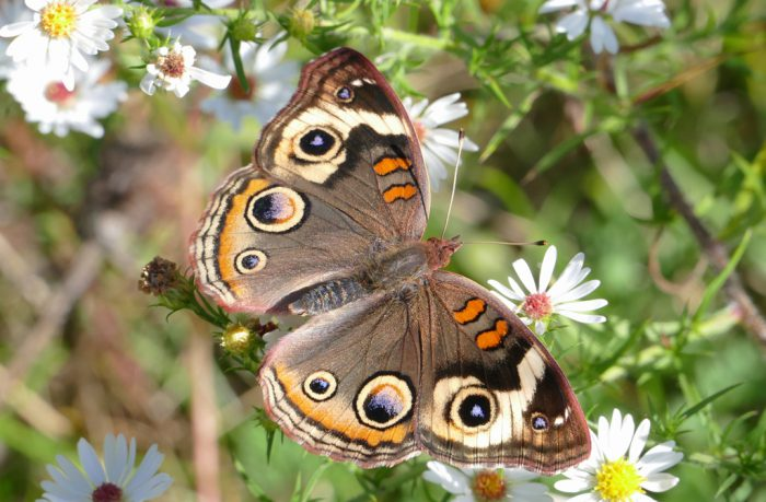 common-buckeye-10-2-16-1