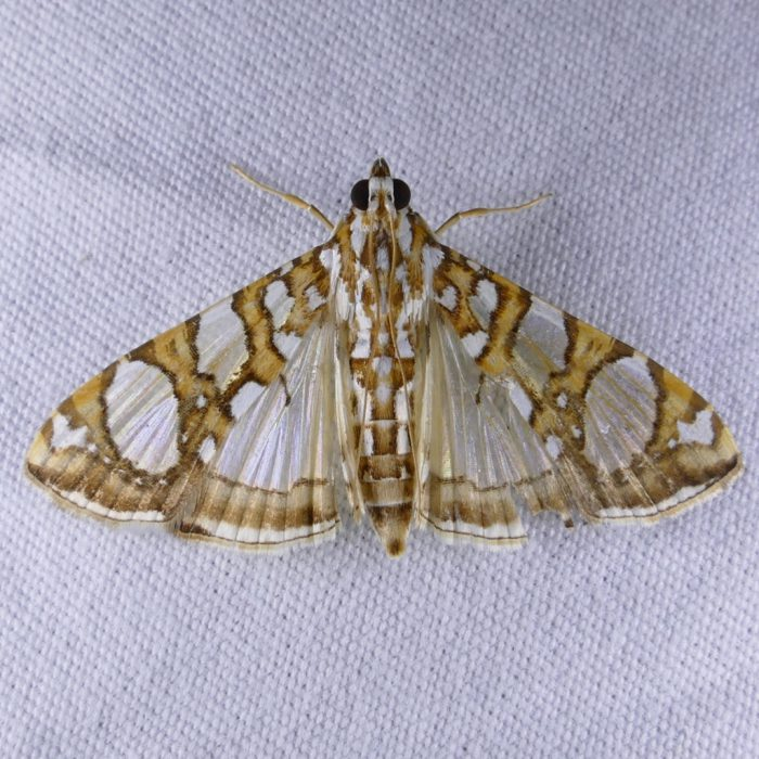 glyphodes-sibillalis-9-20-16-1