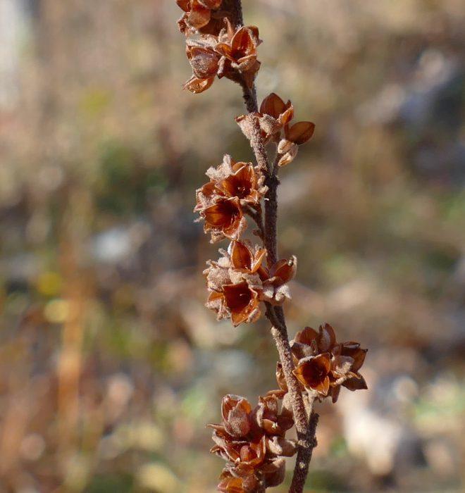 helianthemum-bicknellii-10-18-16-1