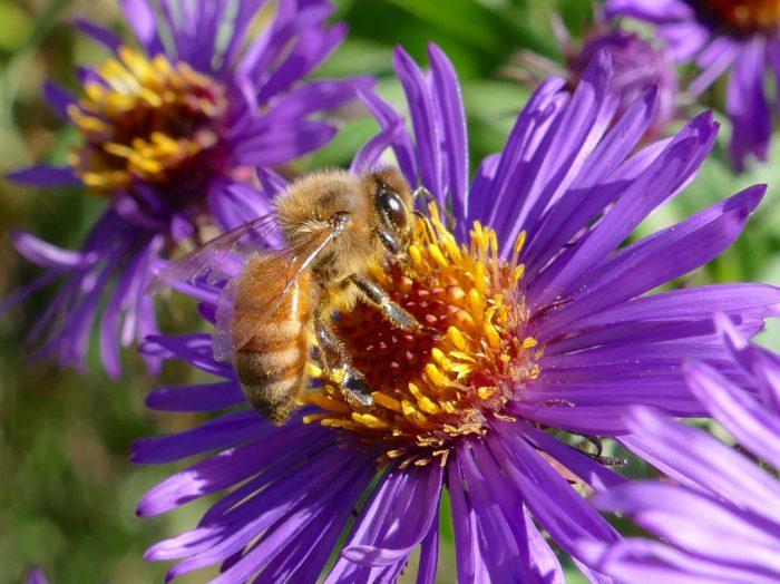 honeybee-10-2-16-1