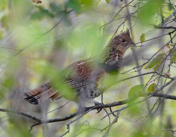 ruffed-grouse-9-30-16-1