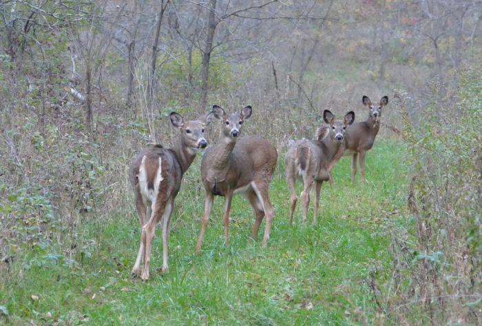 deer-on-the-walk