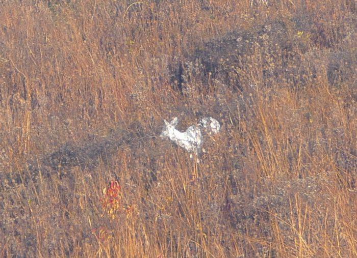 white-deer-11-4-16-1