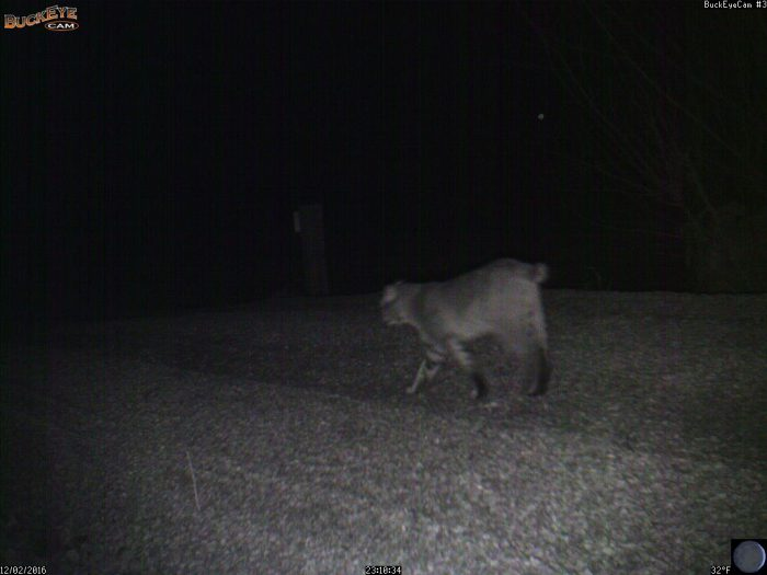 12-2-16-bobcat