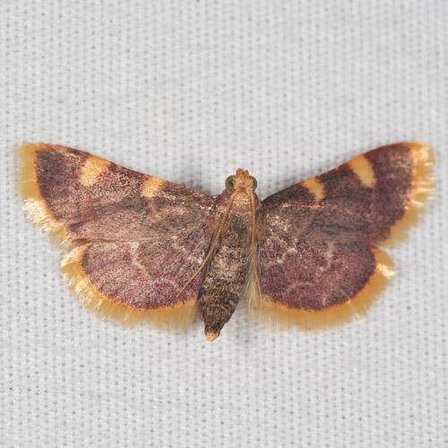 Pyralidae - Wikidata