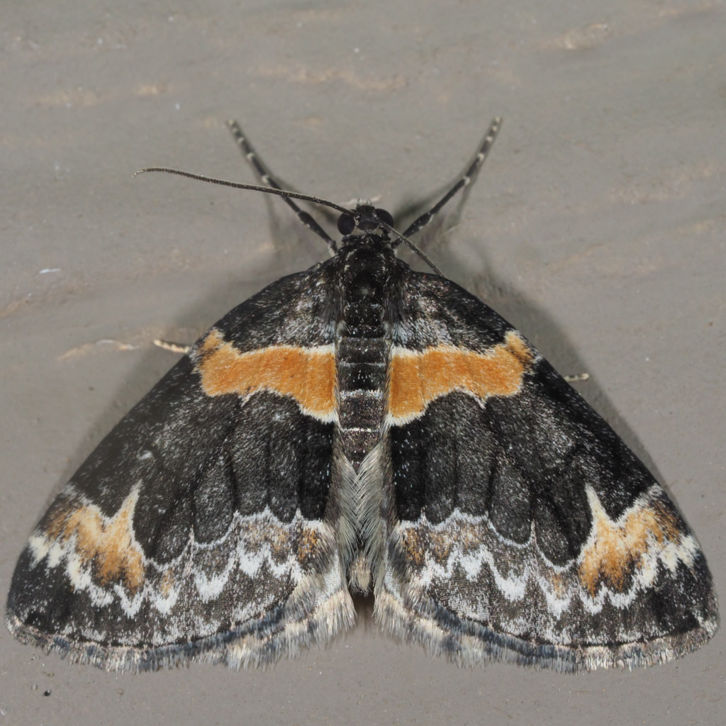 Dysstroma Hersiliata Orange Barred Carpet Prairie Haven